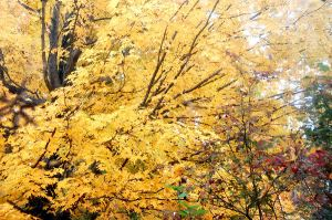 Golden tree outside my window